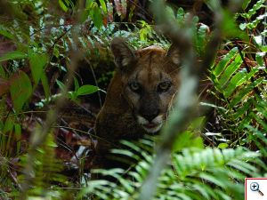 Florida-Panther-at-Big-Cypress-Reserve-photo-Ralph-Arwood-Flickr_300x225_ed95ba8d5b15fe9d9727e21ec2578676